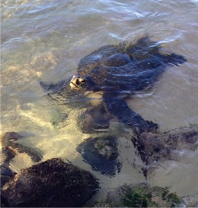 A turtle checks us out in Hawaii.